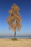 birch tree on blue sky background - 230442640