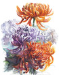 Chrysanthemums autumn flowers watercolor painting illustration isolated on white background