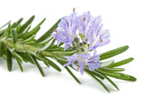 Rosemary sprig in flowers - 230455058