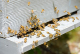 Bees flying around their hive