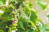 Raisin vert sur une vigne