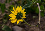 Sunflower Turn - 230464834