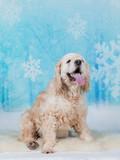 Cockerspaniel portrait. Image taken in a studio with snowy xmas background. - 230468278