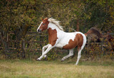 The beautiful horse of bright color hazardously gallops on against the background of a bush - 230475441