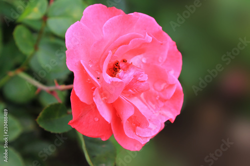 cup-shaped flowers of dense pink color, rose of deep pink color, rose grade heidetraum, semi-double - 230488489