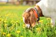 Aglo Nubian / boer goat male, bell on its neck, grazing at sun lit meadow full of dandelions - 230497672