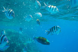 Red Sea underwater scenery with tropical fishes, Egypt - 230499229