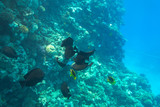 Red Sea underwater scenery with tropical fishes, Egypt - 230500829