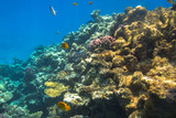 Coral reef of Red Sea with tropical fishes, Egypt - 230503425