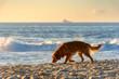 Quadro Golden Retriever paced to sunrise on the sand of Devil's beach in Ipanema, Rio de Janeiro