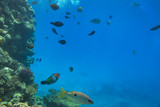 Coral reef of Red Sea with tropical fishes, Egypt - 230506436