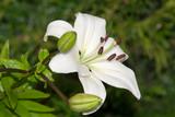 lys blanc dans un jardin