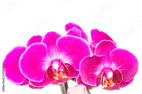 Purple orchids - 230540065