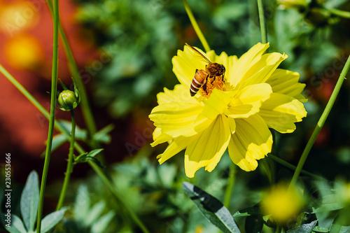 Closeup Bee collecting pollen on yellow cosmos - 230553666