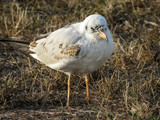 Little seagull standing in the grass