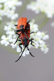 Red beetles mating
