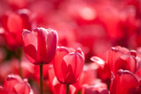 Red tulip blossoms within a bunch of blurred ones