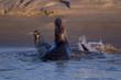 Combat de phoques