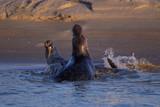 Combat de phoques © Patrick