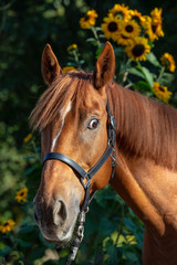 Horse with sunflowers in the background