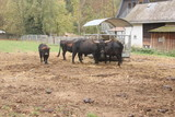 Herd of black oxen in farm with child