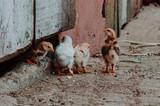 familia de pollitos - 230626000