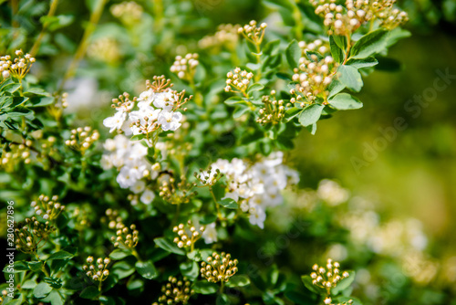 Foto Murales Blooming Spiraea van Guta closeup