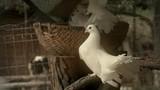 White pigeons flying  - 230628854
