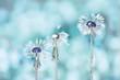 Wet fluffy dandelions. artistic photo. soft selective focus.