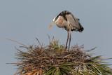 Great Blue Heron in Florida Marsh