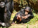 Bébé Chimpanzé - 230637208