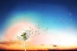 Grown dandelion and dandelion