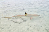 sharks in polynesia  the pink sands of the coastline - 230663653