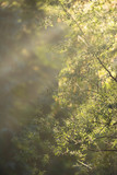 Rays of sunlight in forest on misty morning. - 230666217