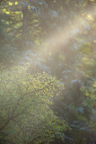 Rays of sunlight in forest on misty morning. - 230666218