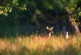 Female red deer in morning light in tall grass. - 230666236