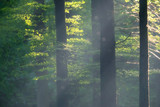 Rays of light in misty autumn forest. - 230666257