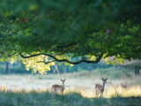 Two deer under tree in forest. - 230666263