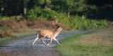 Fallow deer buck running over pathway. - 230666283