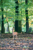 Young fallow deer alone in forest. - 230666296