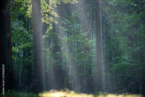 Rays of light in misty autumn forest. - 230666261