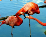 Beautiful flamingos of red color