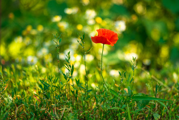 red poppies on green background