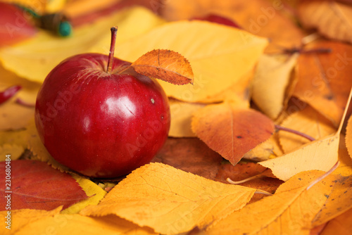 autumn harvest - one red apple is on fallen yellow leaves. Perfect background for autumn season. - 230680484