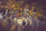 adult wolf, photography in the thickets - 230687678