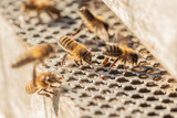 honey bees fanning at entrance to hive