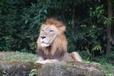 portrait of a lion - 230699436