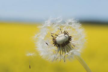 Pusteblume mit Samen vor hellgelbem Rapsfeld