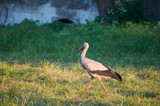 The white stork is looking for food in the meadow after haymaking. Bird watching in the countryside in summer.