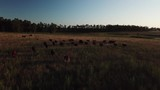 Cattle running at sunset on ranch. - 230711419